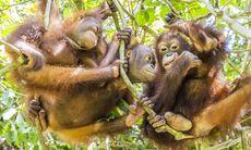 Hemma hos Borneos människoapor