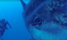 Här simmar dykarna med den märkliga monsterfisken