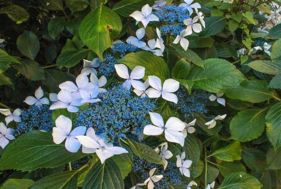 Punakaiki blå blommor.jpg