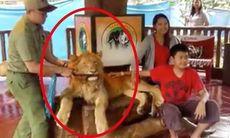 Turisterna tar foton med lejonet – därför har filmen upprört tusentals världen över