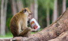 Thailändsk ö inför böter för att mata apor